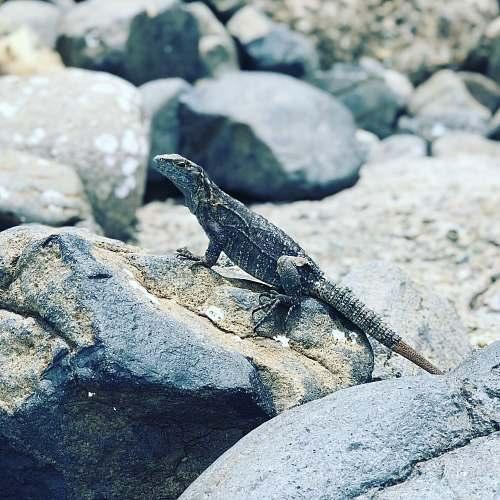 lizard black and gray lizard reptile
