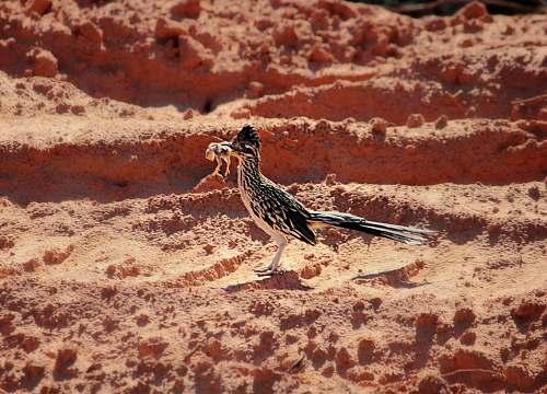 bird black and white bird on desert quail