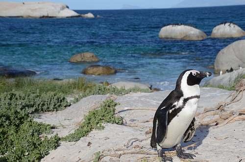 bird black and white penguin on rock formation penguin