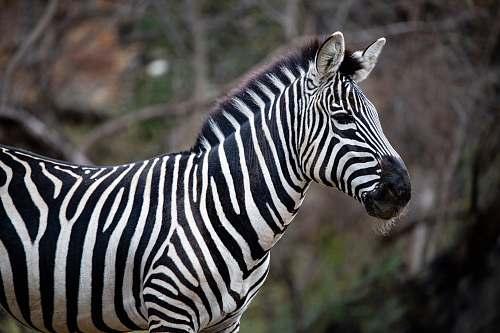 mammal black and white zebra standing during daytime wildlife