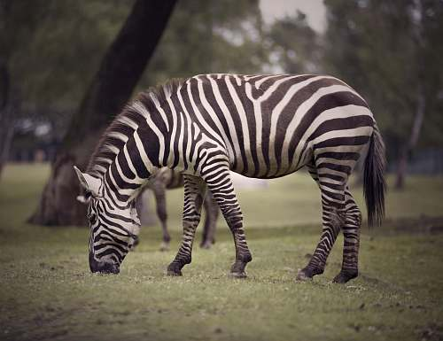 wildlife black and white zebra zebra