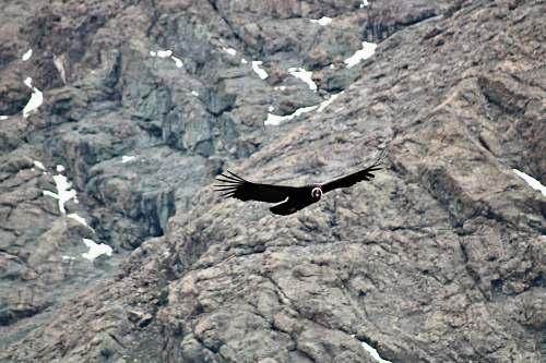 bird black bird flying near rocky mountain vulture