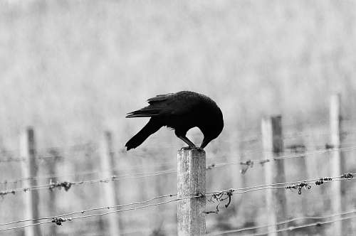 bird black bird perching on white wooden post black-and-white