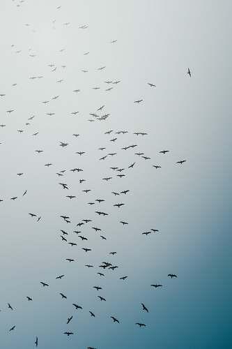 flock black birds flying during daytime grey