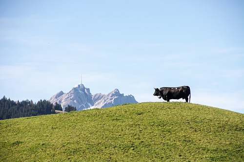 photo cattle black cow on green grass lawn during daytime mammal free for commercial use images