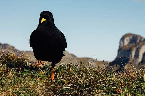bird black crow on green field blackbird