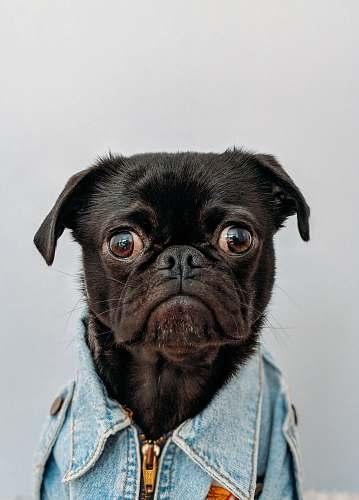 dog black dog wearing blue denim collar pet