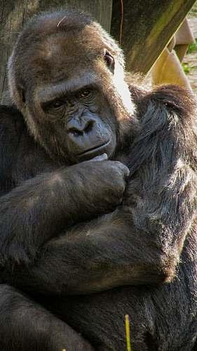 ape black gorilla beside wood mammal