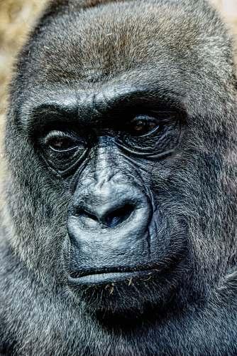 mammal black gorilla ape