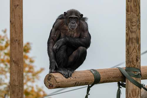 mammal black monkey ape