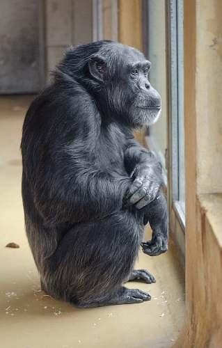 ape black primate mammal