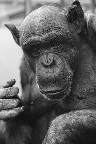 black-and-white black primate ape
