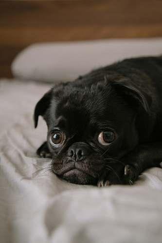 dog black pug puppy pug