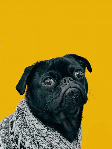 dog black pug with gray knit scarf pet