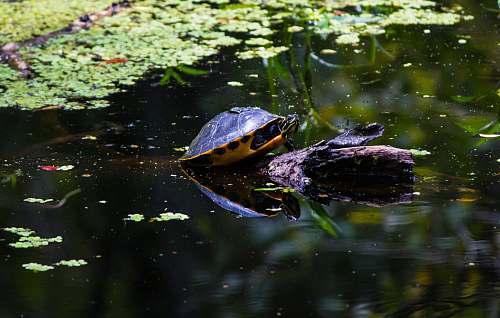 turtle black turtle in lake reptile
