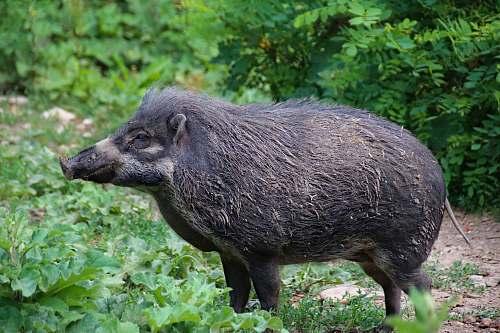 mammal black wildboar pig