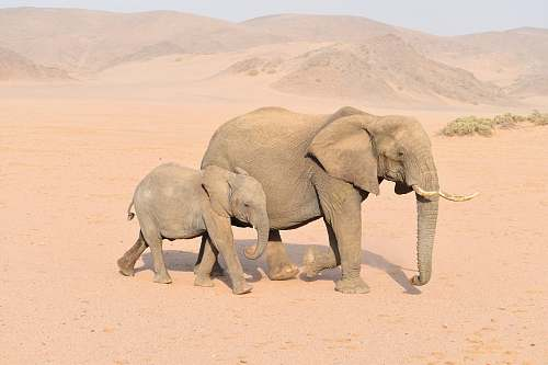 elephant brown adult and young elephants mammal