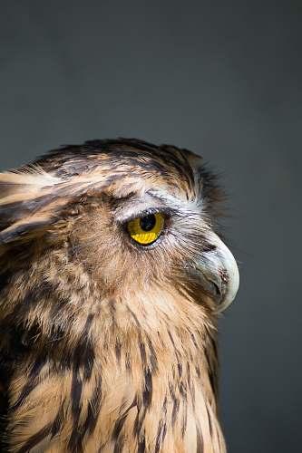 bird brown American bald eagle photo owl