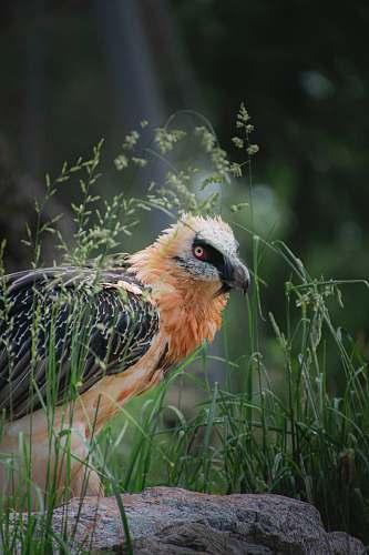 bird brown and black bird near green grass during daytime poultry
