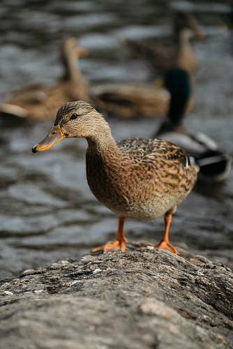photo bird brown and black duck waterfowl free for commercial use images