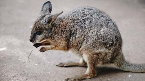 wallaby brown and black kangaroo kangaroo