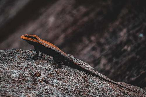 reptile brown and black lizard on black stone lizard