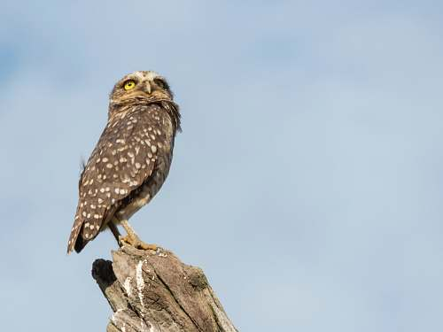 bird brown and black owl pearching on tree buzzard
