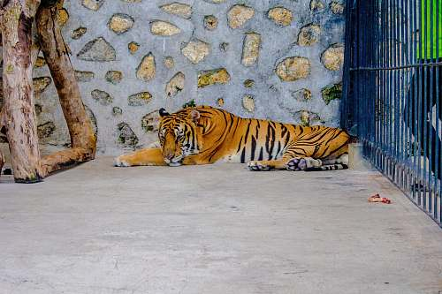 mammal brown and black tiger inside case tiger