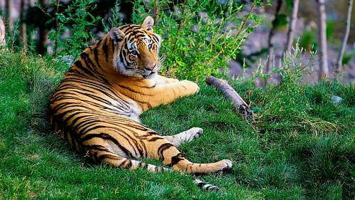wildlife brown and black tiger lying on green grass during daytime tiger