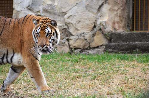 mammal brown and black tiger walking on grass tiger