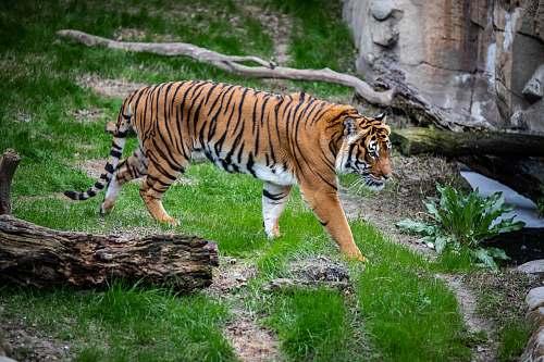 tiger brown and black tiger walking on green grass mammal