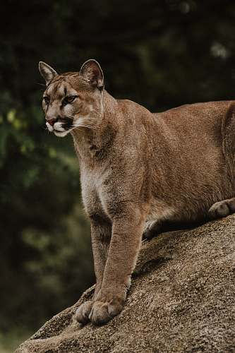 puma brown and black wild cat sitting on brown rack cougar