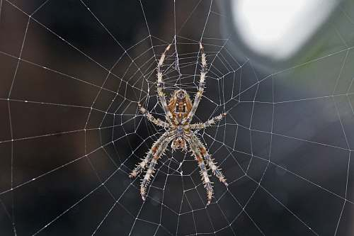 arachnid brown and gray spider invertebrate