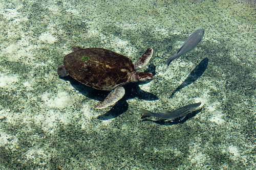 reptile brown and gray turtle and two gray fish underwater turtle