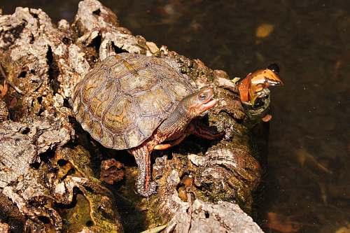 reptile brown and gray turtle on rock turtle