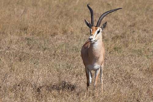mammal brown and white antelope on brown grassland antelope