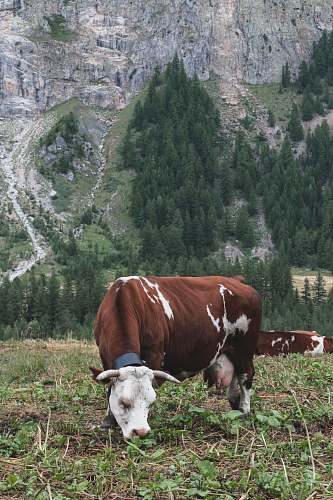 cattle brown and white cattle and brown wooden horse cow