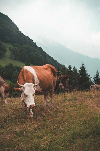 cattle brown and white cow standing on grass cow