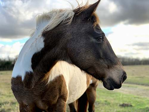horse brown and white horse standing on grass field mammal