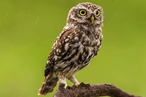 bird brown and white owl owl