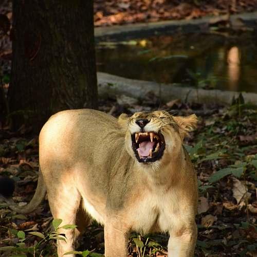 lion brown animal mammal