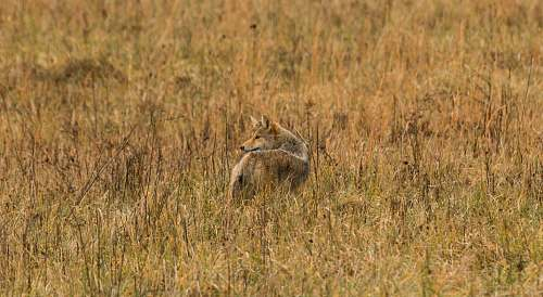 canine brown animal on brown grass during daytime coyote