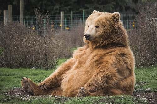 wildlife brown bear sitting on grass field bear