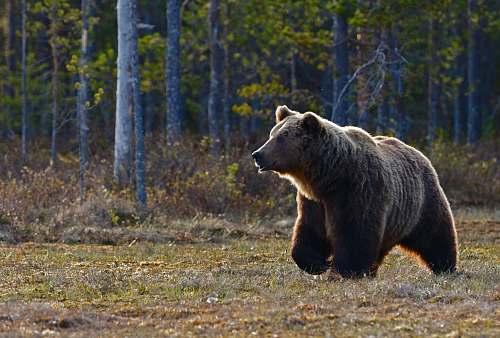bear brown bear walking near trees wildlife