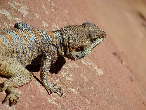 reptile brown bearded dragon lizard