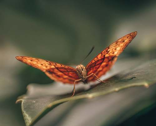 insect brown butterfly invertebrate