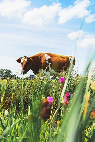 cattle brown cattle cow