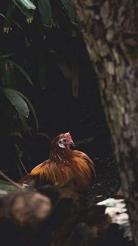 bird brown chicken chicken
