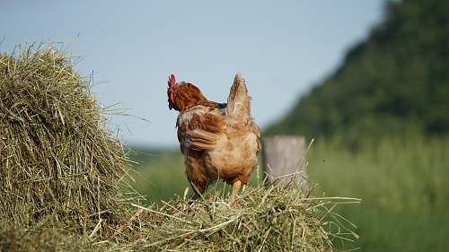chicken brown chicne poultry