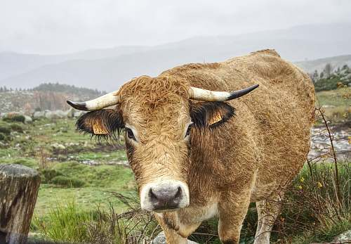 cattle brown cow cow